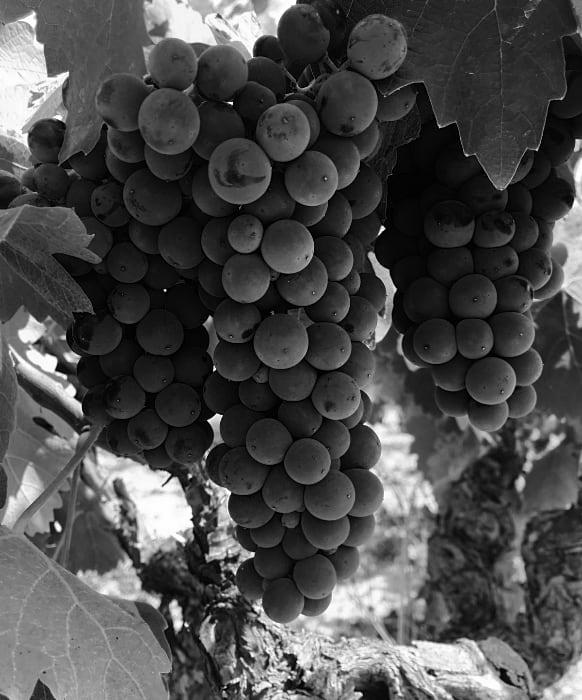 Imagen de Racimo de uva